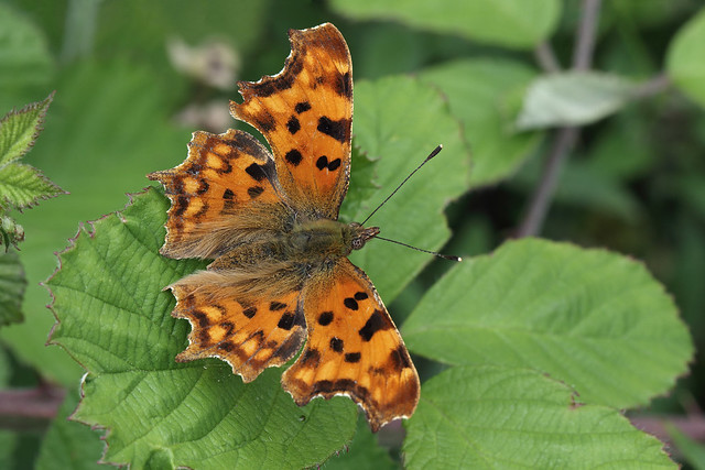 Comma (Polygonia c-album) - Hertfordshire.