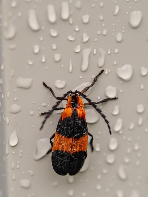 128/366 - Orange and black bug