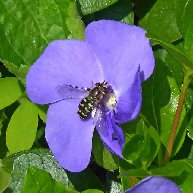 A fly seeking pollen an nectar on a flower of the Lesser Periwinkle.