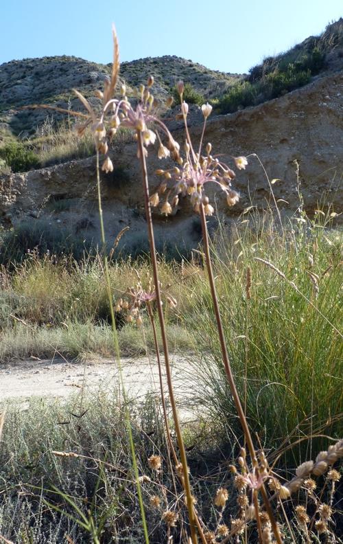 Allium oleraceum 50103085378_5ef3fe0d4d_o