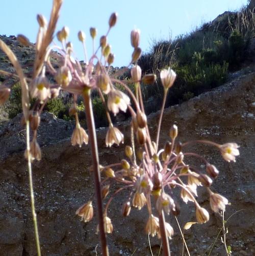 Allium oleraceum 50103085443_fa5daaf375_o