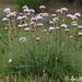 Armeria maritima (Mill.) Willd.