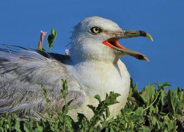 Do seagulls pant?
