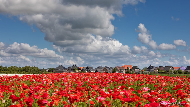 Poppies and clouds