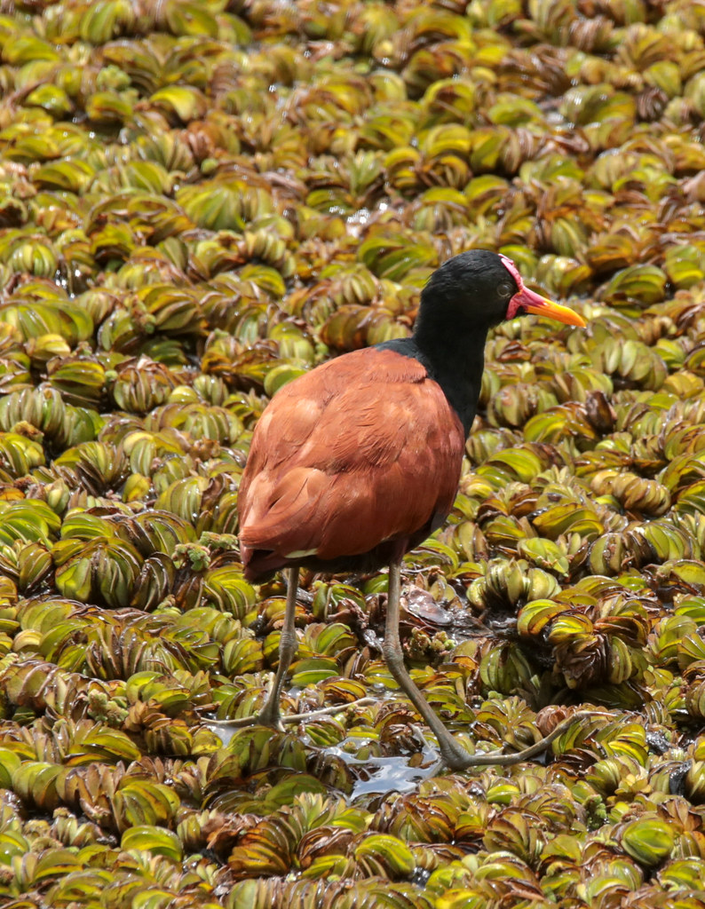 Wattled Jacana  - check out the feet size