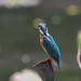 Kingfisher -202007120071.jpg