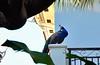 Vizcaya peacock