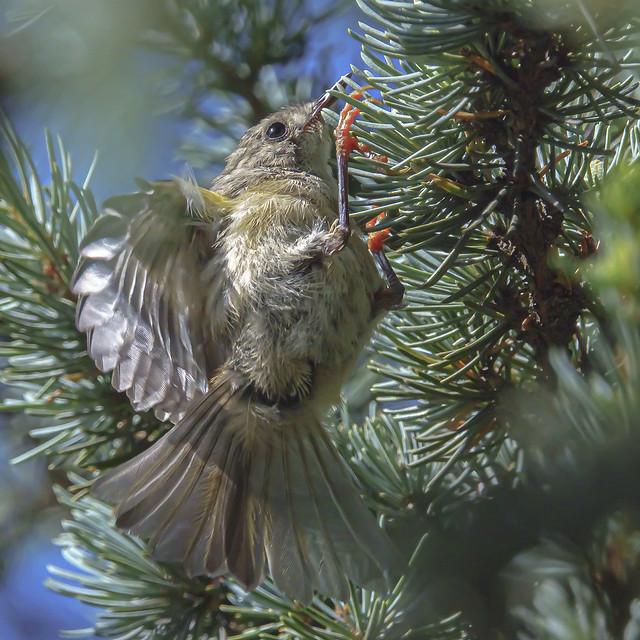 fledling goldcrest