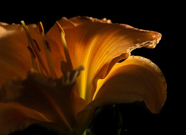 Dark Lilly