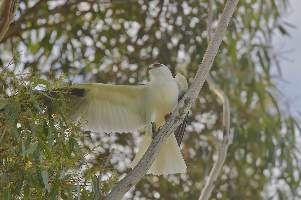 Black-shouldered Kite ( its been a long morning )