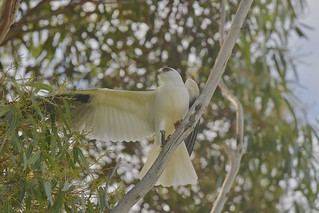 Black-shouldered Kite ( its been a long morning ) | by friendsintheair