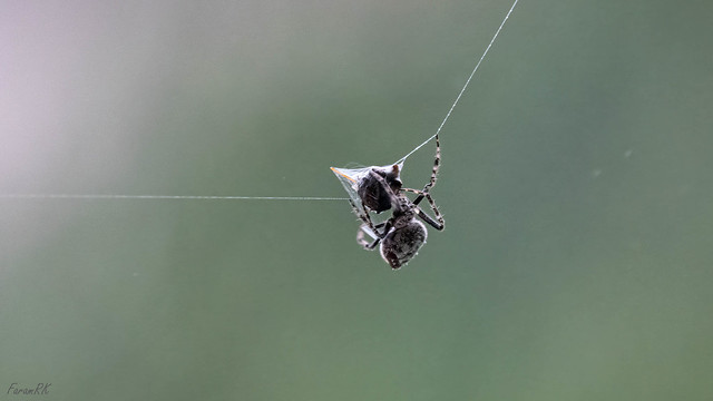 Spider shrink-wrapping prey caught in its web