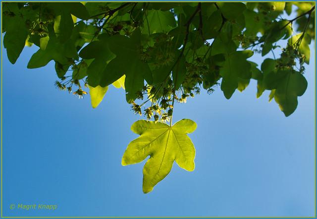 Ein Blatt in der Sonne! A leaf in the sun!