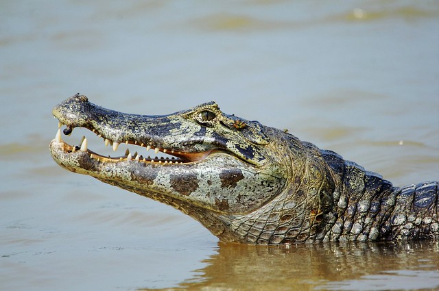 Caiman Portrait Complete With Leech And Flies (Caiman yacare)