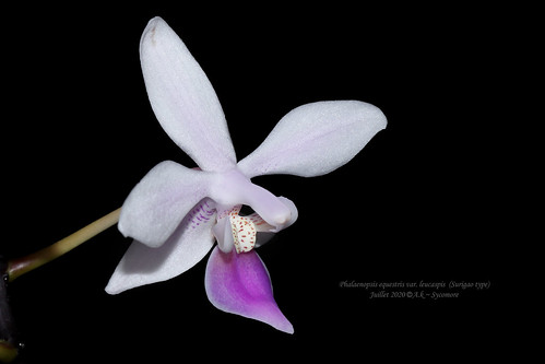 Phalaenopsis equestris var. leucaspis (Surigao type)