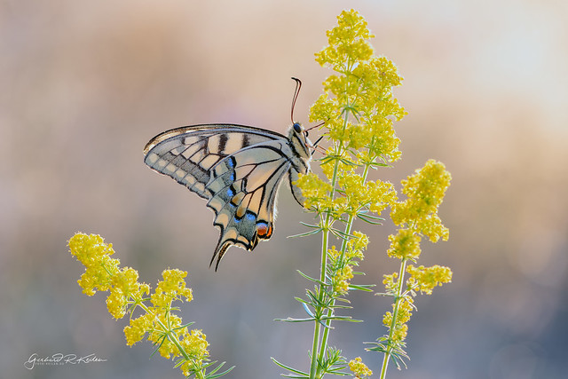 Swallowtail in the first morning light!