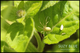 Spider | by suzypud