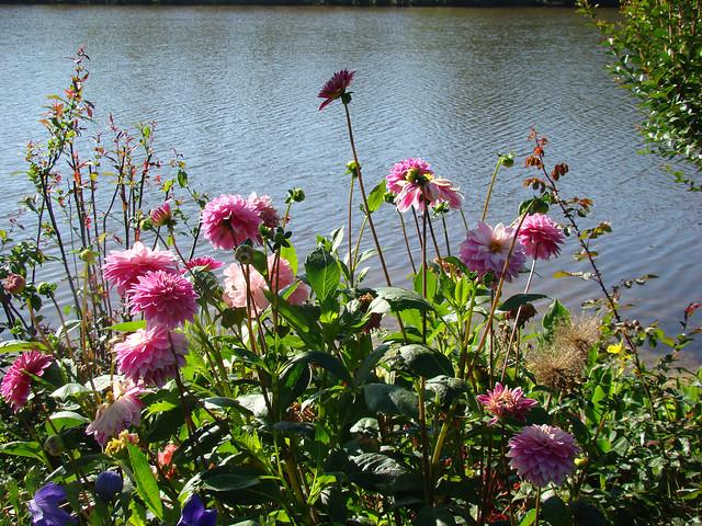 DAHLIAS en bordure du Lac-Aureilhan.