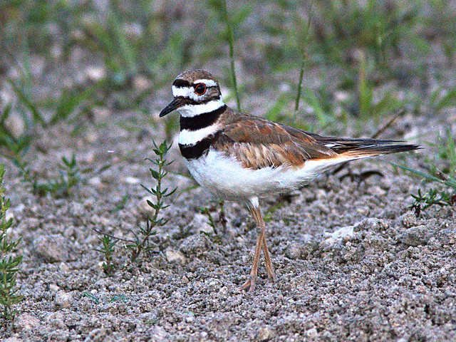 Killdeer 02-20200712