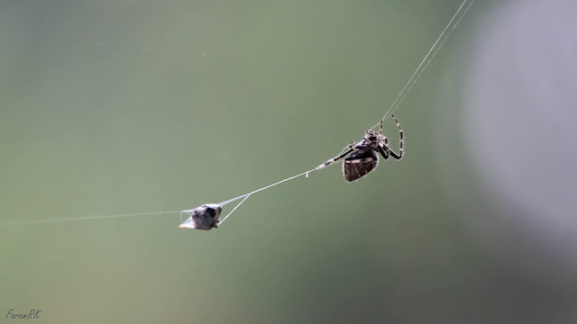 Spider pulling its packaged prey to its lair