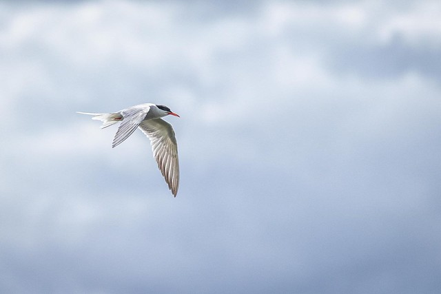 A common tern