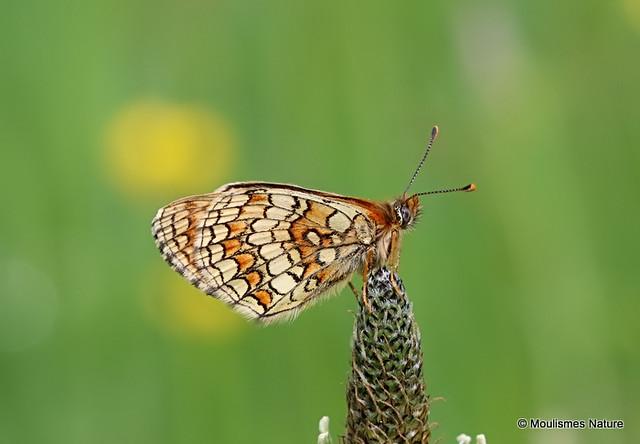 IMG_1291. Meadow Fritillary (Melitaea parthenoides)