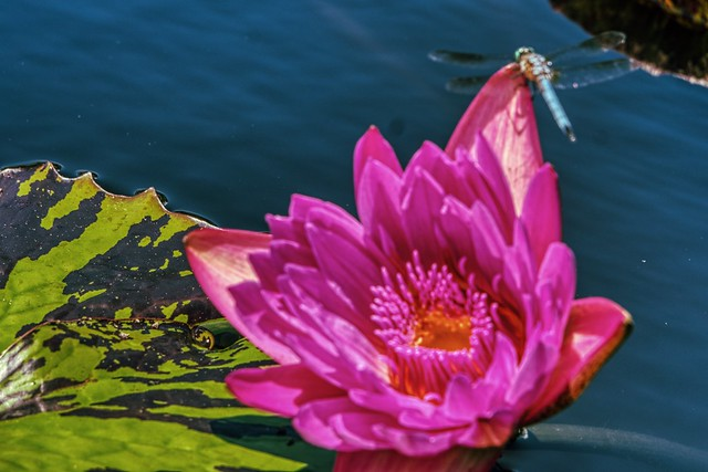 Lotus blossom and friend...