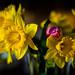 Mixed Daffodil Vase