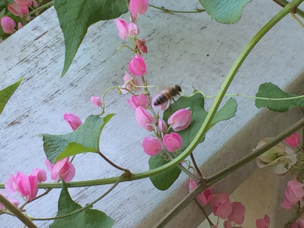 Queens Crown Coral vine and Honey Bee