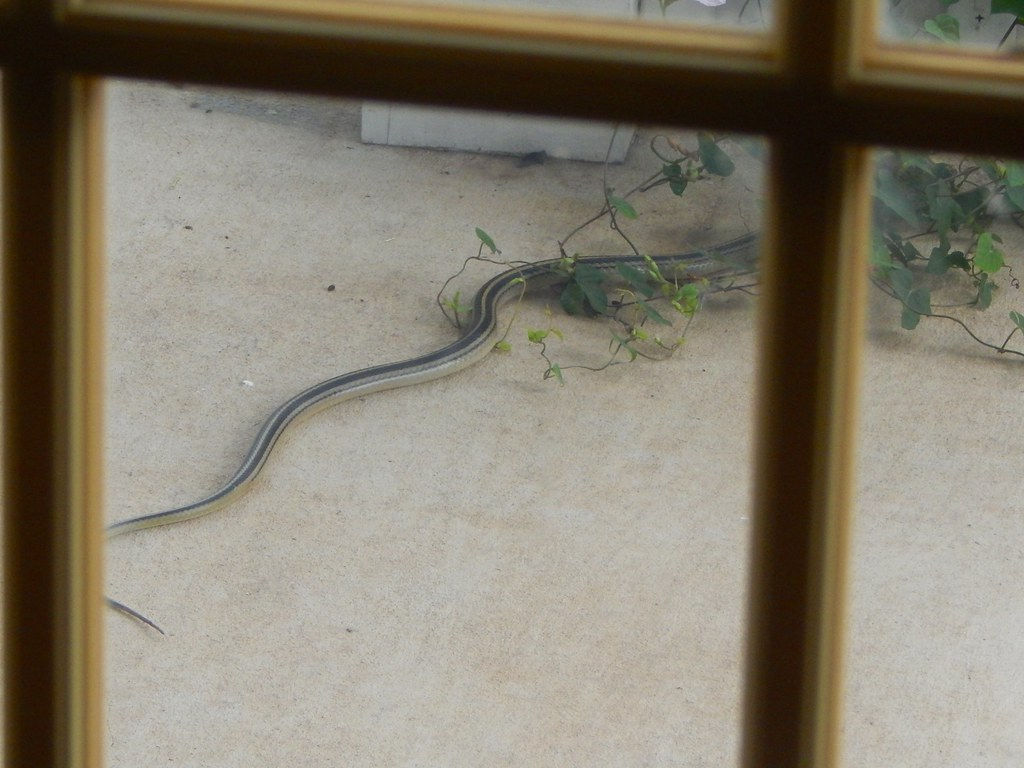 Sometimes Other Critters used The QueensCrown Vine; a Texas Garter Snake.