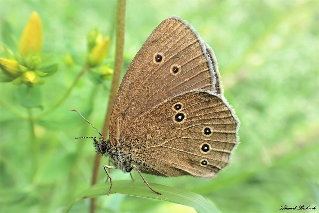 Butterfly 2009 (Aphantopus hyperantus)