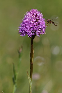 Orchis globuleux et Syrphide - Globe Orchid and Hoverfly