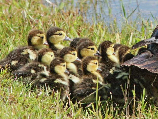 Muscovy ducklings 05-20200712