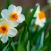 Twin Daffodils