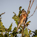 Linnet (young male)