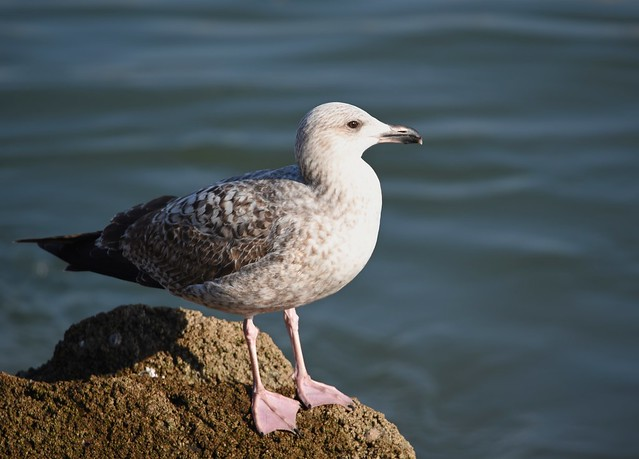 Gaivotão-real / Great Black-backed Gull ?
