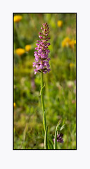 common/chalk fragrant orchid