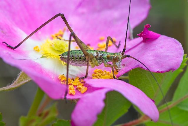 2006_2094 Katydid (maybe) on Prairie Rose