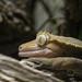 Kronengecko (Lat. Correlophus ciliatus) - Hera
