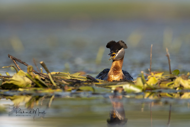 Grebe jougris / Red-necked Grebe