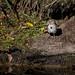 Song Sparrow-53169.jpg