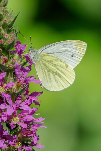 White-veined white   (Klein geaderd witje)