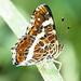 Landkärtchen (Araschnia levana) (1)