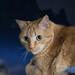 Hauskatze (Lat. Felis silvestris catus) - Garfield