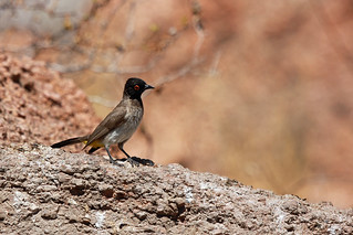 Namibia, red-eyed bulbul | by naturgucker.de