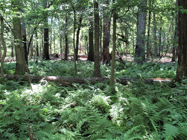 Ferns and forest, South Mountain battlefield, Fox's Gap, Maryland