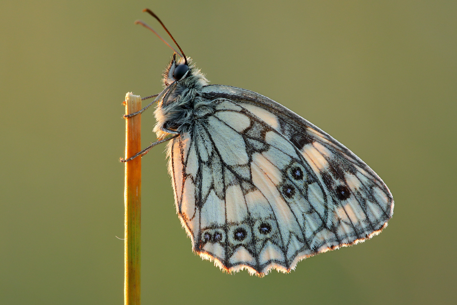 Male Marbled White, Friston Forest