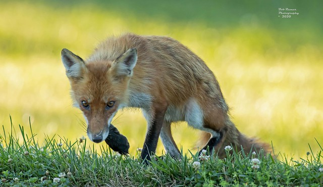 Red Fox.  Vulpes vulpes.
