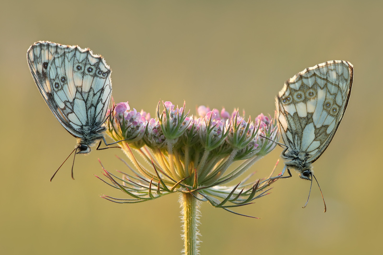 Marbled Whites (male and female) Friston Gallops