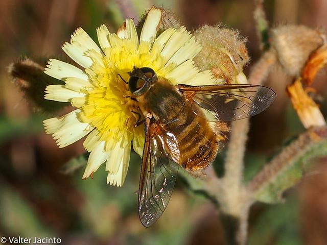 Bee fly (Villa sp.)
